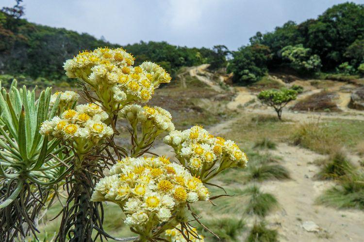 Bunga Edelweis di Gunung Welirang, Jawa Timur.