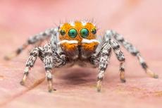Spesies Baru Laba-laba Merak, Berwajah Oranye Mirip Tokoh Animasi Nemo