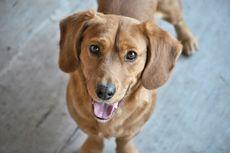 Tak Cuma Penciuman Super, Hidung Anjing Juga Bisa Deteksi Panas