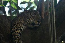 Cerita Keeper Bandung Zoo Tangkap Macan Tutul di Pemukiman Warga