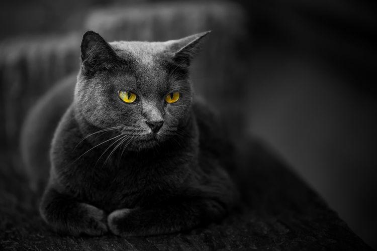 Ilustrasi kucing hitam