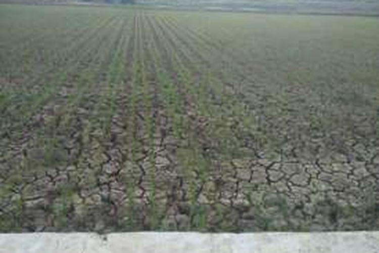 Lahan pertanian warga di Kecamatan Lewa, Kabupaten Sumba Timur mengalami kekeringan