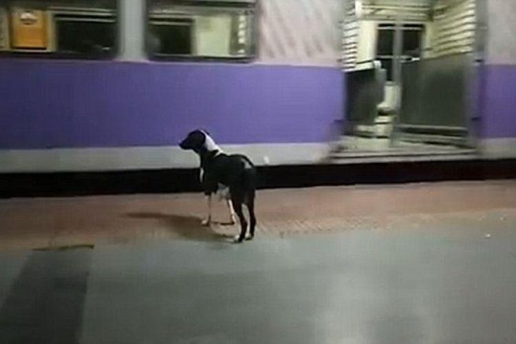 Seekor anjing di India selalu datang ke stasiun setiap malam. Banyak orang yang meyakini, anjing itu menantikan kedatangan pemiliknya. (Daily Mail)