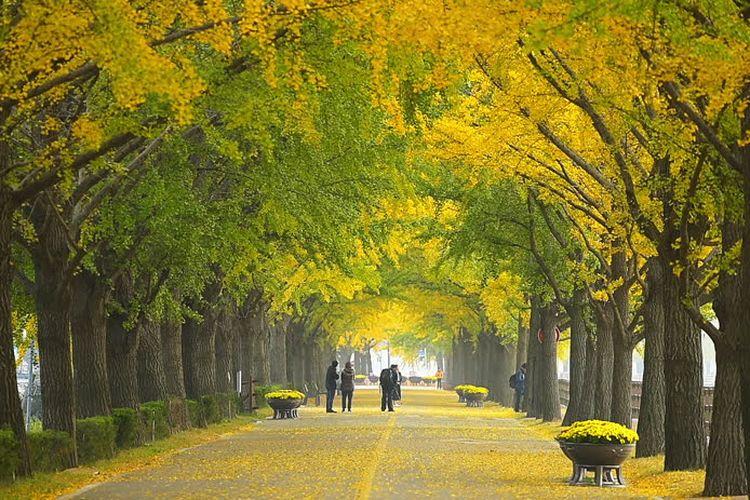 Asan Ginko Tree Road adalah jalanan yang dipenuhi pepohonan dan menjadi spot menarik untuk mengambil foto, khususnya pada saat musim gugur di Korea.