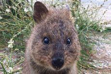 Quokka, Si Mungil Penghuni Pulau Rottnest yang Murah Senyum