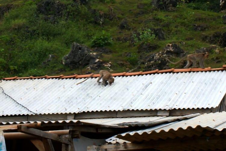 Kera ekor panjang saat berada di permukiman warga di Pedukuhan Sireng 1, Purwodadi, Kecamatan Tepus, Gunung Kidul.