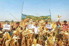 Panen Jagung Lamongan, Badan Ketahanan Pangan Tegaskan Kecukupan Produksi Nasional