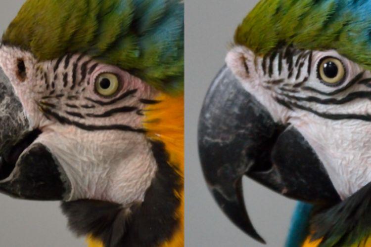 Perbedaan burung makaw tersipu (kiri) dengan yang tidak (kanan)