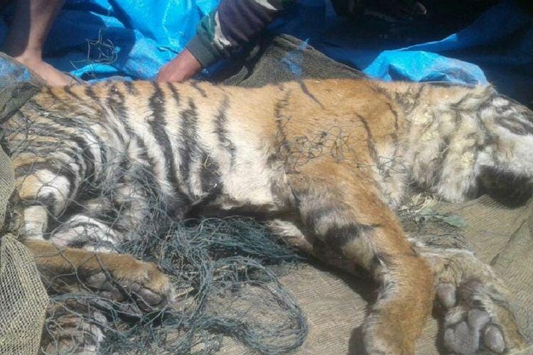 Harimau sumatera yang ditemukan mati di Desa Sihaporas, Kecamatan Sosopan, Kabupaten Padang Lawas, Sumatera Utara pada 2017 lalu.