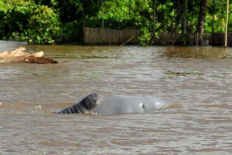 Dua ekor pesut mahakam saat tertangkap kamera di wilayah perairan Sungai Mahakam Kutai Kertanegara, Kaltim.