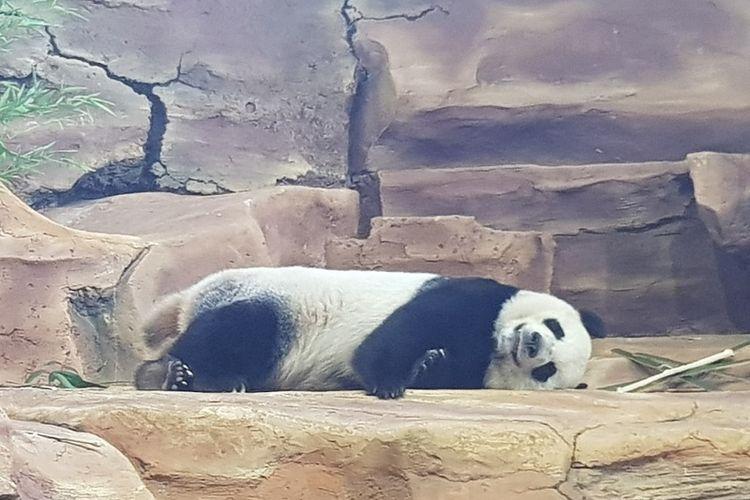 Seekor panda tertidur di Istana Panda Taman Safari Bogor.