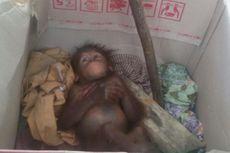 Sang Induk Dibunuh, Bayi Orangutan Menangis