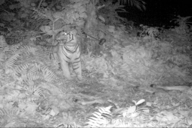 Tangkapan layar video kemunculan harimau sumatera di blok hutan Sei Kelam, Resort Bahorok memangsa cadaver atau bangkai sisa lembu pada 19 Desember 2020. Di tempat tersebut seekor lembu warga di desa tersebut dimangsa harimau.