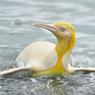 Penguin Warna Kuning Terlihat Pertama Kali di Atlantik Selatan