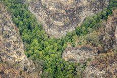 """Misi Rahasia Damkar Australia Selamatkan """"Pohon Dinosaurus"""" Langka dari Kebakaran"""