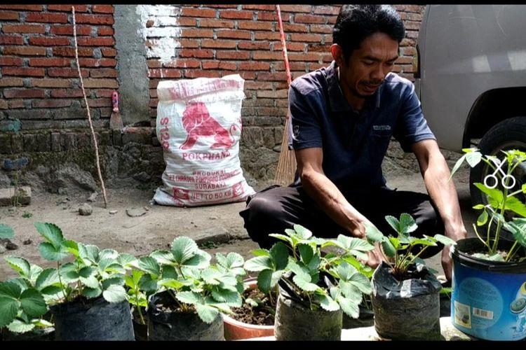 Lalu Isnaini, Suami Baiq Nuril, merawat tanaman stroberi kesayangan Nuril, sambil menanti tabda tangan presiden atas amesti yang diajukan Istrinya. Isnaini berharap Nuril segera pulang.