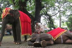 KBS Gelar Unjuk Keterampilan dalam Kampanye Pelestarian Gajah Sumatera