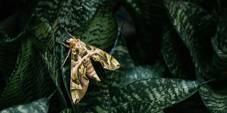 Ilustrasi ngengat, serangga ini membantu penyerbukan bunga di malam hari.