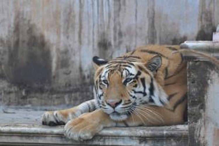 Macan di Batu Secret Zoo, Jawa Timur.