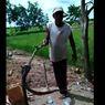 Teror Ratusan Ular Kobra, Satu Warga Tewas hingga Perburuan Dilakukan