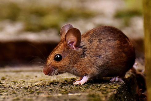 6 Pengusir Tikus Alami, Cabai Giling Kasar hingga Cengkih