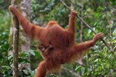 Orangutan Selundupan Warga Rusia di Bali Direlokasi ke Sumatera