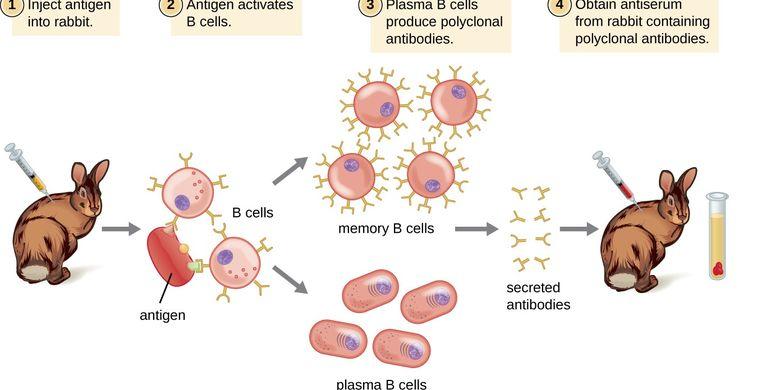 Produksi antibodi poliklonal