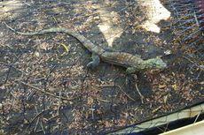 Bedanya Komodo Pulau Flores dan yang Ada di Taman Nasional