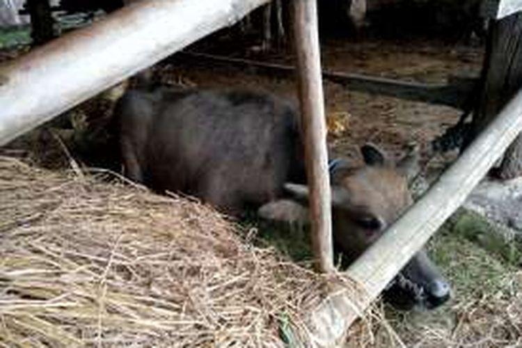 Kerbau milik Subardi korban ledakan hanya bisa tengkurap di kandang
