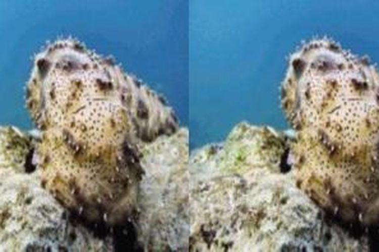 Biota laut teripang.