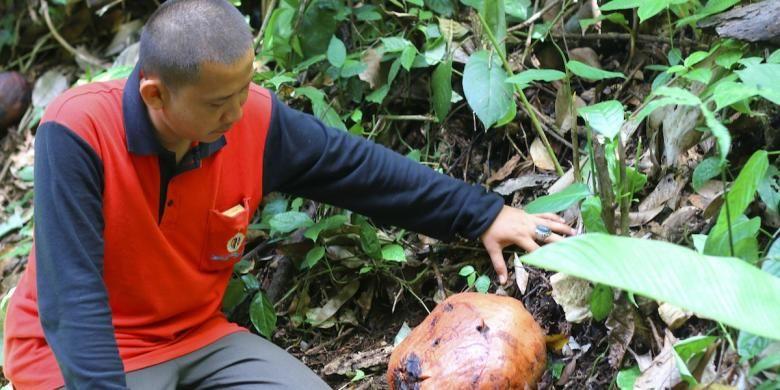 Warga melihat tunas bunga padma atau yang biasa dikenal dengan sebutan Rafflesia arnoldii di Pal 50 Taman Nasional Bukit Barisan Selatan, Lampung, Minggu (31/1/2016). Bunga padma merupakan salah satu flora Nusantara yang menjadi identitas Indonesia.