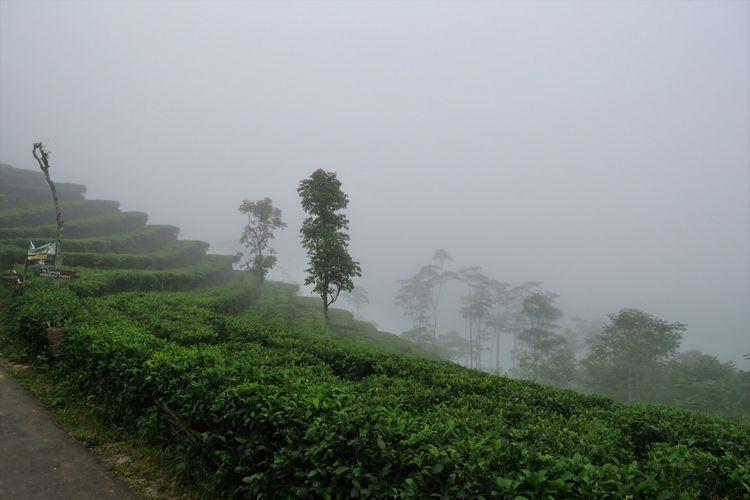 Puncak kebun teh di Desa Wisata Nglinggo, Kabupaten Kulonprogo, Yogyakarta, Sabtu (4/11/2017).