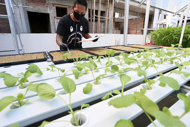 Foto dirilis Senin (10/8/2020), memperlihatkan David Sugianto mengecek usia tanaman sayuran yang ditanam dengan sistem hidroponik di atap rumahnya di Blitar, Jawa Timur. David berhasil memanfaatkan atap rumahnya menjadi ladang tanaman berbagai sayur mayur yang ditanam dengan sistem hidroponik.