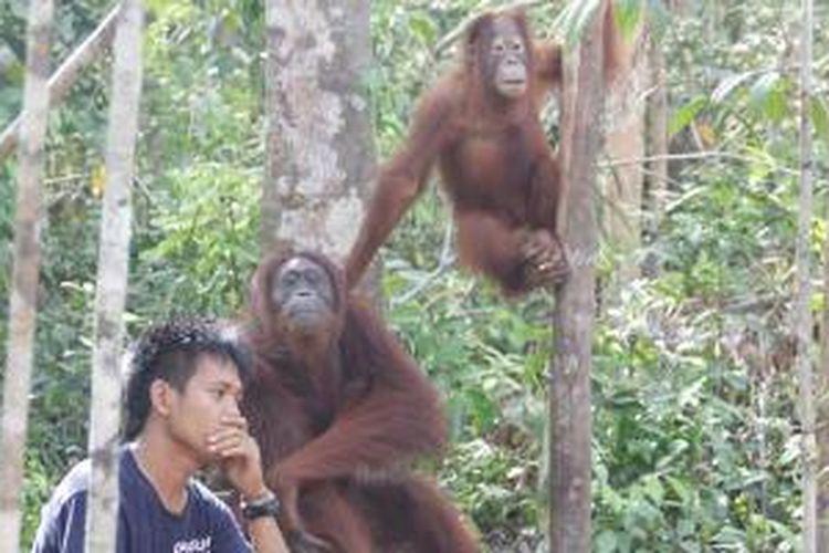 Orangutan di Camp Leakey Taman Nasional Tanjung Puting, Kalimantan Tengah, Selasa (26/11/2013).