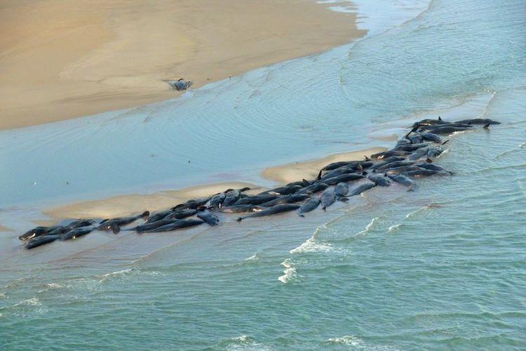 Sejumlah paus pilot terdampar di Perkins Island bagian utara di Pantai Barat Tasmania.