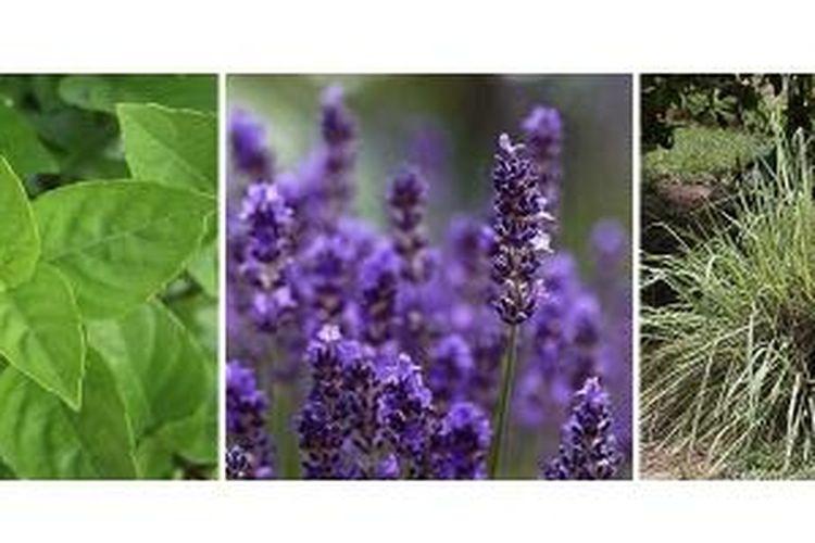 Tanaman-tanaman yang dipercaya bisa mengusir nyamuk, antara lain basil (Ocimum basilicum), lavender (Lavandula angustifolia), dan rumput Citronella (Cymbopogon nardus).