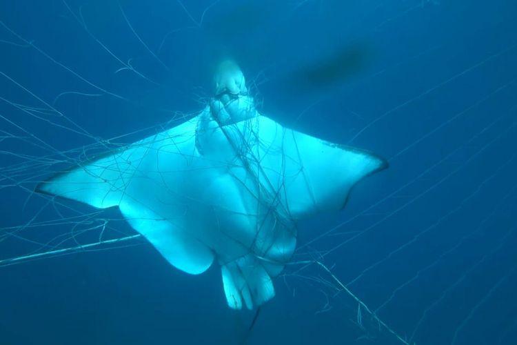 Ikan pari terjebak dalam jaring ikan hiu