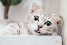 8 Ras Kucing Bermata Besar yang Lucu dan Menggemaskan