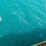 Kawanan Hiu Tutul Muncul di Perairan Utara Lamongan, Ini Penjelasan BKSDA