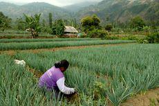 Argapura, Pengekspor Sayur Andalan yang Diabaikan