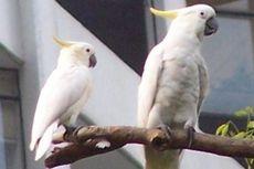 Kenapa Kakatua Disebut Burung yang Pintar? Ini Penjelasannya