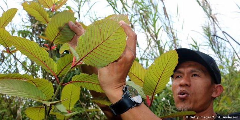Menurut data dari kantor berita AFP, di Kalimantan Barat saja ekspor tanaman kratom mencapai hingga 400 ton sebulan dengan nilai sekitar 10 juta Dolar AS. Kisaran harga global kratom saat ini sekitar 30 Dolar AS per kilogram. Petani kratom Gusti Prabu (gambar), mengekspor 10 ton tiap bulannya.