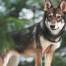 5 Ras Anjing Mirip Serigala yang Bisa Dipelihara