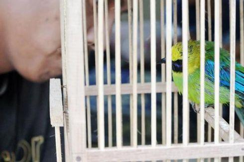 Pencuri Burung Murai di Kemayoran, Selalu Incar dan Buntuti Burung-burung Pemenang Kontes