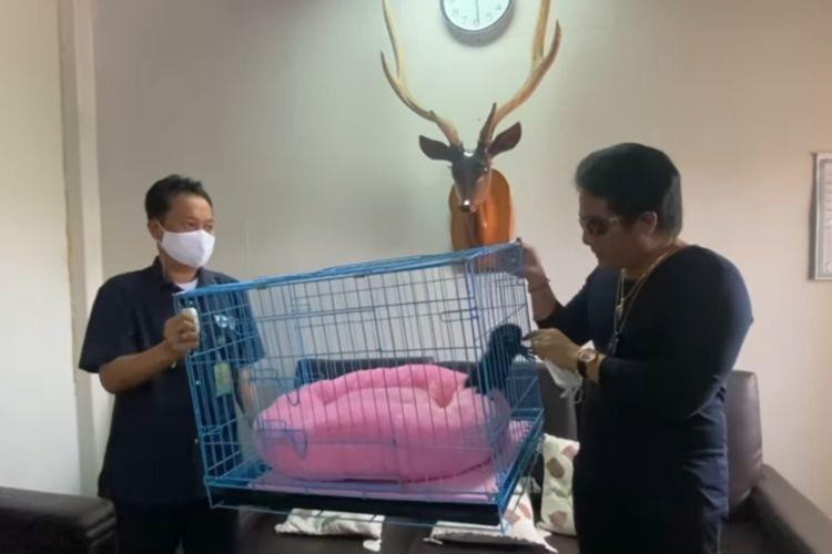 Proses penyerahan Owa Siamang yang dipelihara oleh Bupati Badung Nyoman Giri Prasta ke BKSDA Bali, Rabu (15/9/2021).