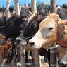 4 Kasus Pencurian Hewan Kurban, Belasan Domba Dibawa Tanpa Bersuara dan Pemilik Histeris Peluk Bangkai