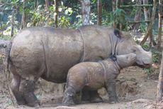 Badak Sumatera di Ambang Kepunahan, Pakar IPB: karena Gagal Bunting