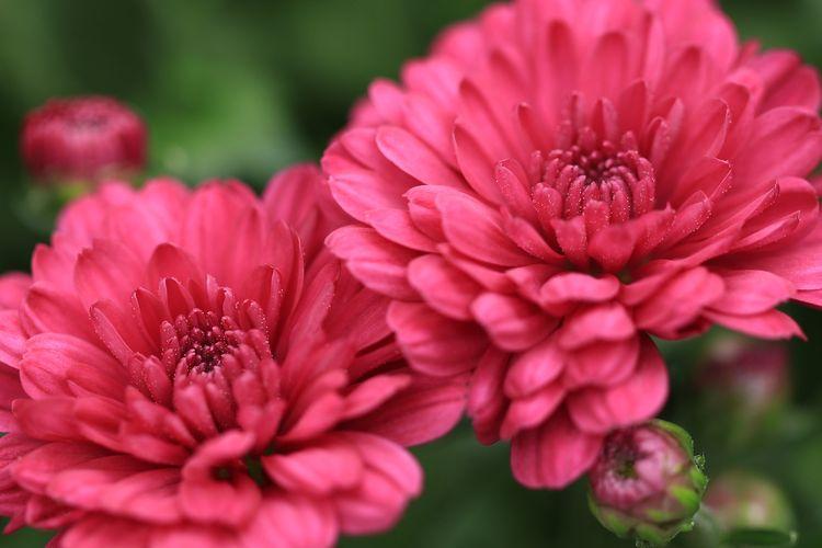 Ilustrasi bunga krisan atau chrysanthemum.