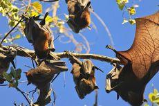 New South Wales Berencana Berantas 100.000 Ekor Kelelawar
