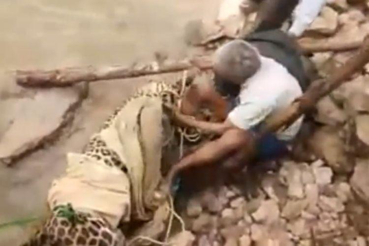 Macan tutul yang akan diselamatkan warga menyerang seorang pria yang mendekatinya untuk mengikatkan tali ke kaki macan.